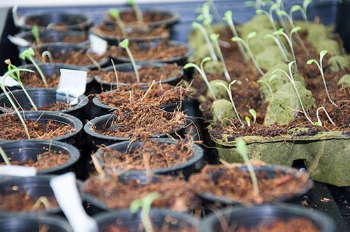A photo from Volcano Veggies first seeds this spring.