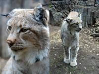 High Desert Museum's Lynx Dies After a Long Life