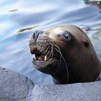 Oregon Zoo Says Goodbye to Gus, Oldest Male Stellar Sea Lion
