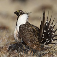 Pity the Poor Sage-Grouse