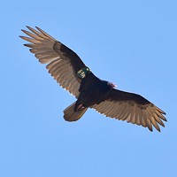Rare Turkey Vulture Spotted