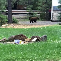 Deputies Kill Young Black Bear Near Sunriver