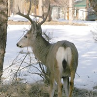 Keep Mule Deer Out of Your Garden!