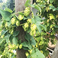 Fresh Hops Are Here