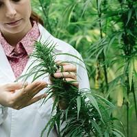 Skyrocketing Number of Cannabis Studies
