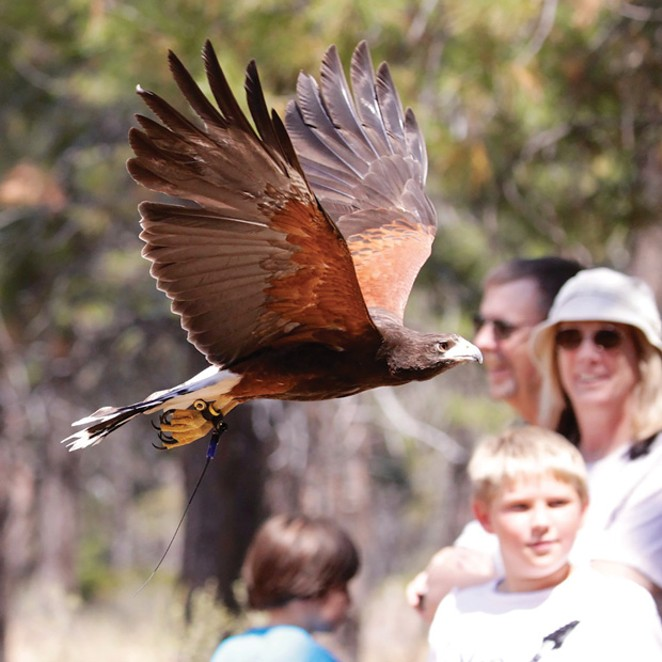 Birds of prey at the High Desert Museum. - SUBMITTED