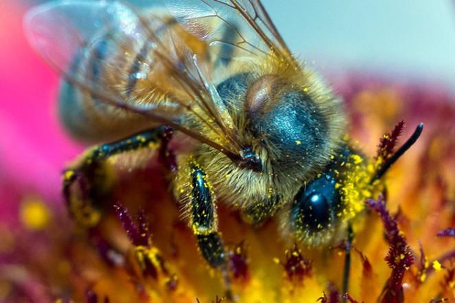A European honeybee covers itself in pollen from a wildflower. - CHRIS MILLER