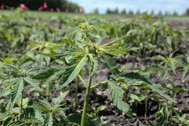 Industrial hemp has become a fast growing crop in Oregon and around the U.S. - MAGDALENA BOKOWA