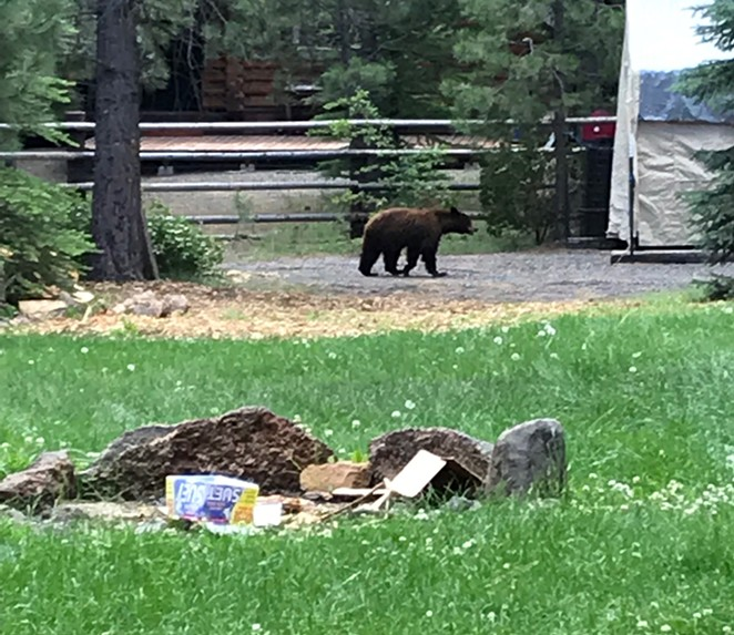 The bear moving through residential areas. - DESCHUTES COUNTY SHERIFF'S OFFICE