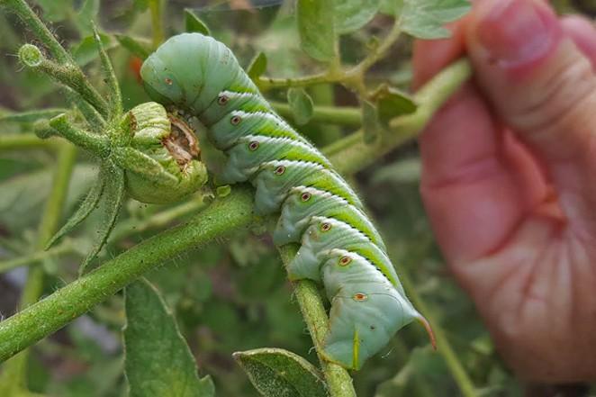 Tomato hornworm. - JIM ANDERSON