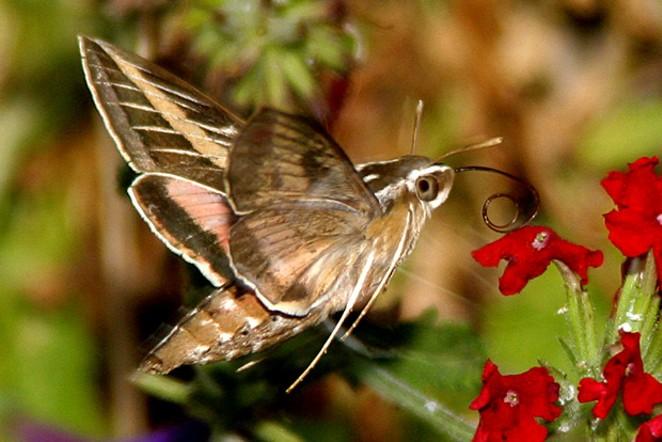 Adult lined hummingbird moth. - RUEBEN ANDERSON
