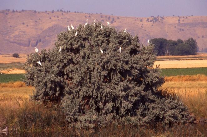 American egrets in Silver Lake. - JIM ANDERSON