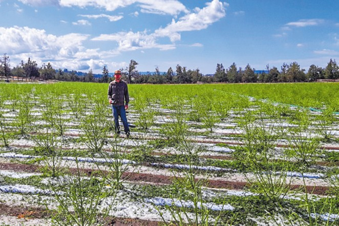 A midsummer night's hail misfortune struck Aug. 9, devastating many acres of hemp, including farmer Kaleb Kelleher's crops at Wild Hemp Co. - KALEB KELLEHER