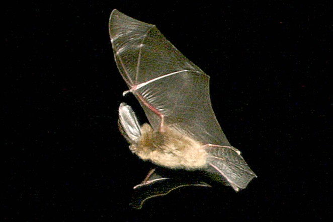 One local bat, the Townsend's big-eared, eats mosquitoes all summer and sleeps in the lava caves all winter. - JIM ANDERSON