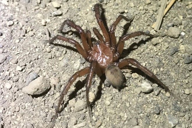 A folding door spider, found by a Central Oregon pharmacist. Yep, they're local. - SARA POKORNY