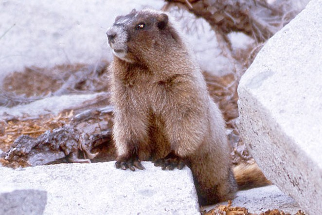 That's him, the Oregon rock chuck, aka, yellow-bellied marmot, (Marmota flaviventris) the western equivalent of the Eastern Groundhog. - SUE ANDERSON