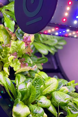 If the lettuce don't get you, then the lighting will; small wheel grows graceful greens. - LISA SIPE