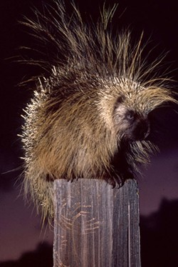 Porcupines have evolved from villians to victors. - JIM ANDERSON