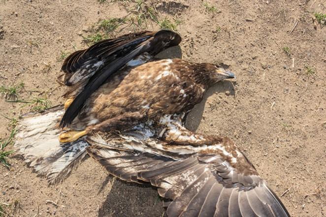 Dead, gunshot sub-adult bald eagle. - SUE ANDERSON