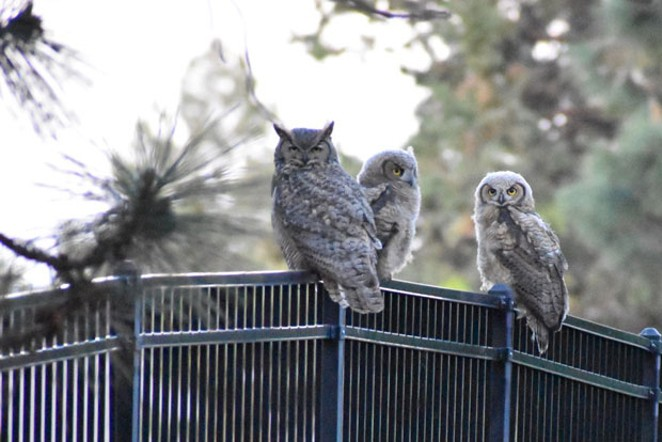 Reader Lee Hutson sent in this photo from his home in southeast Bend, where a Great Horned Owl and - two owlets kept the household entertained afternoon. - JEFFREY TRAYLOR.