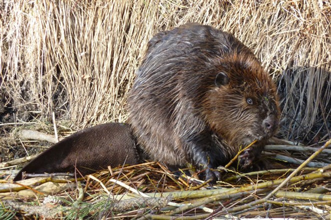 """Once nearly extinct, the beaver has been called """"nature's premiere construction engineer."""" - JAY BOWERMAN"""