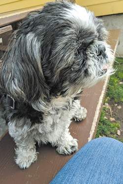 Annie Cole's Shih Tzu, Apollo, has provided lots of love and companionship throughout the pandemic. - COURTESY ANNIE COLE