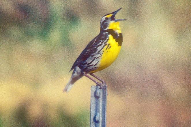 Western Meadowlark, state bird of Oregon. - JIM ANDERSON