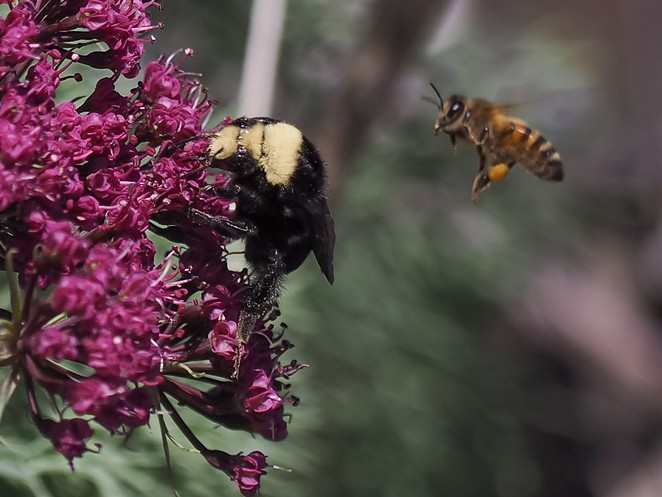Springtime is crunch time for hungry bumblebees (left) and honeybees. - TRACY AUE