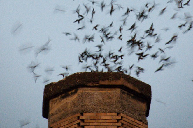 A flock of Vaux's Swifts swirling into a 1920s elementary school chimney to roost for the night. - SAM MAY / WIKIMEDIA COMMONS