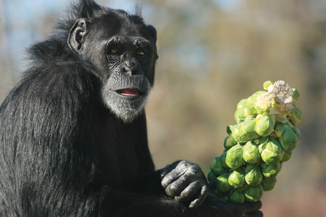 Chimpanzee residents enjoy fresh vegetables and free exploration in their outdoor play spaces. - COURTESY FGA