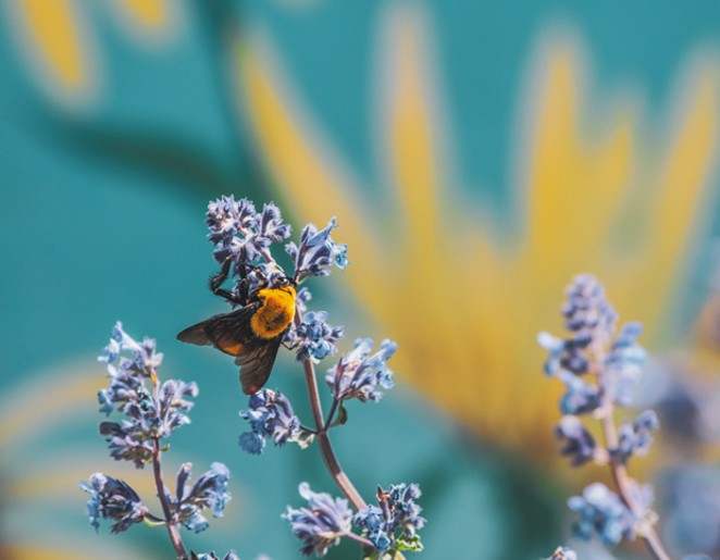 Spring Bee on Lupine - JASON MCPHEETERS