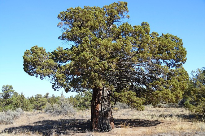 This is an old-growth western Juniper in the Redmond-Bend Juniper State Scenic Corridor along U.S. Route 97 between Bend and Redmond in Central Oregon. - ORYGUN / WIKIMEDIA