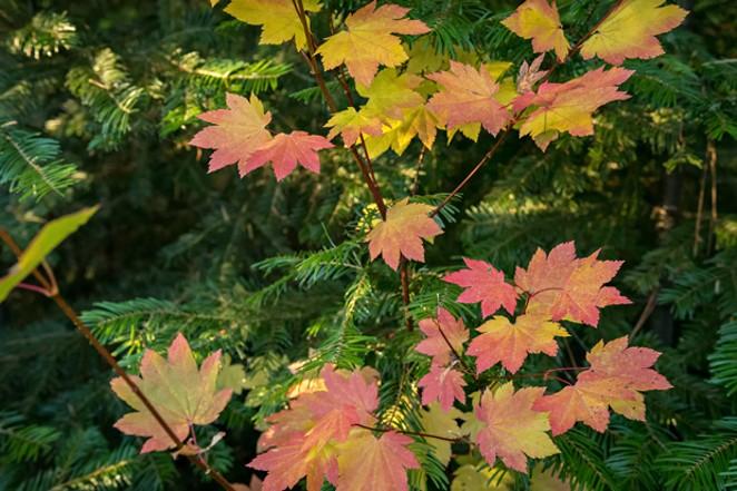 Look for the distinctive palm shape of vine maple leaves. - PHOTO: TIM COTTER/DESCHUTES LAND TRUST.
