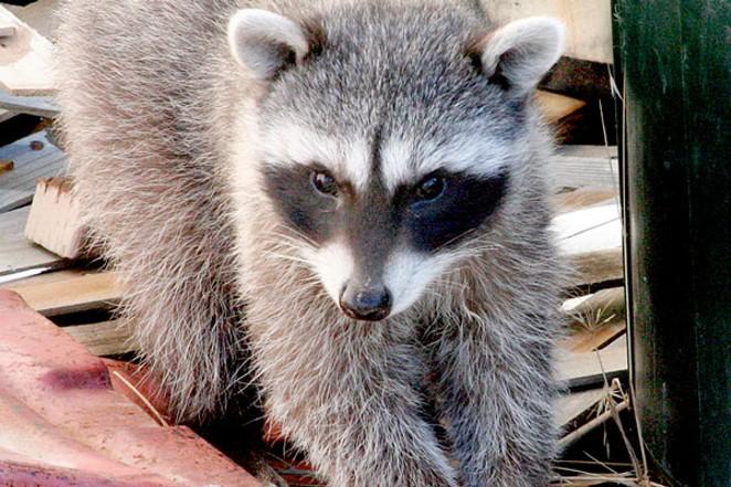 A young raccoon investigating new habitat: my neighbor's backyard. - JIM ANDERSON