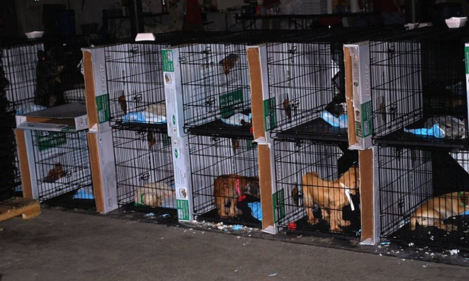 The aftermath of a 500-dog seizure in Fort Worth, Texas. Pictures taken at the temporary shelter HSUS, PetSmart, and the UAN set up to hold the dogs as they await their freedom. - JOSH HENDERSON