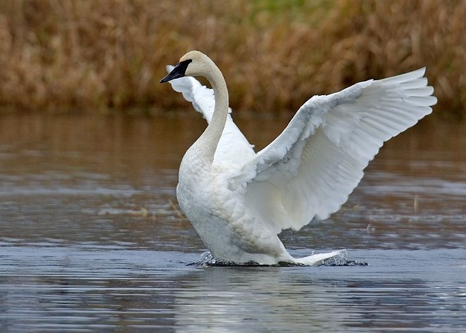 A trumpeter swan in its native habitat. - ALAN D. WILSON, WWW.NATURESPICSONLINE.COM