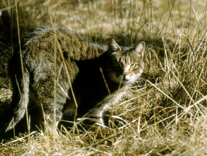 Tabby-the-Cat on the prowl. - JIM ANDERSON