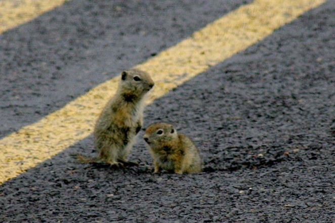 Beldin's ground squirrels wake up from their ODOT hibernation chamber. ODOT redid the highway, but the ground squirrels liked it the way it was, and moved back in for the winter, then made a new entrance way when they woke up. That was three years ago. - SUBMITTED