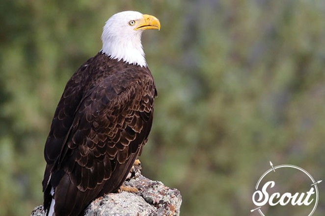 An American bald eagle. - SHERYL FRENCH