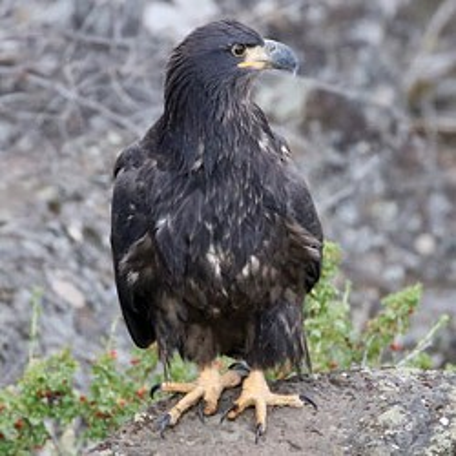 A juvenile bald eagle - SHERYL FRENCH