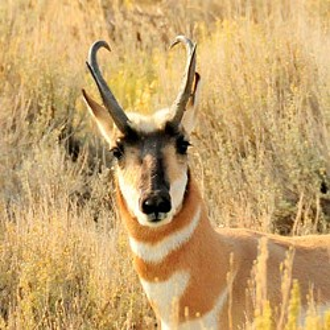Pronghorn antelope - USFWS