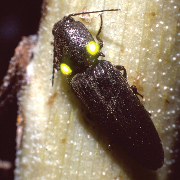Click Beetle, Deilelater physoderus—unfortunately not an Oregonian, but found all over the Southwest. - JIM ANDERSON