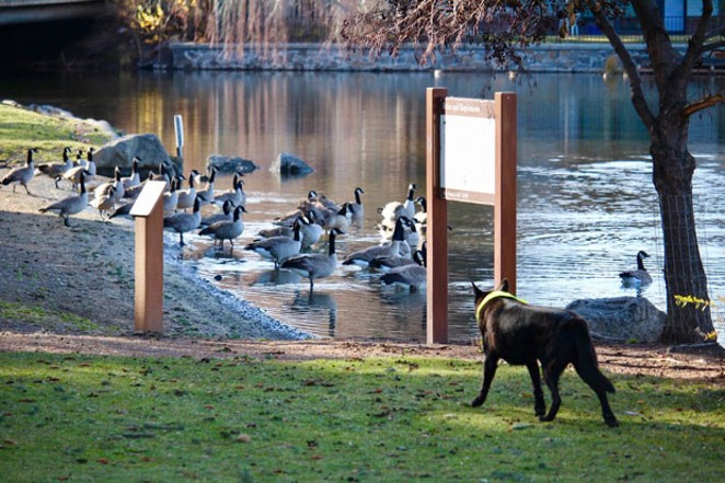 Canine volunteer Flame stares down geese at a Bend park. - DPRD
