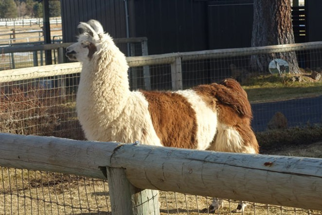 Moki the stud enjoys some sunlight in his pasture. - ELIZABETH WARNIMONT