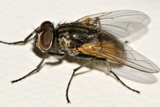 """Just one species of """"the flies of winter."""" - JIM ANDERSON"""