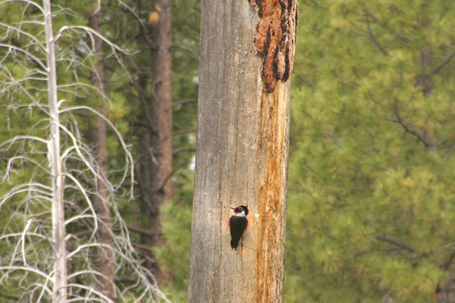 Lewis' woodpecker. - JIM ANDERSON