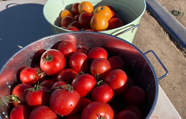 Local U-Pick Farm Experiences Monster Tomato Crop