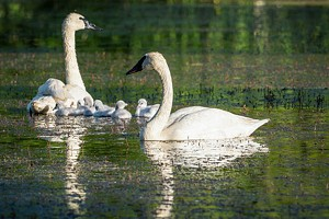 Not Singing the Swan Song