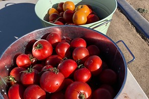 Local U-Pick Farm Experiences Monster Tomato Crop