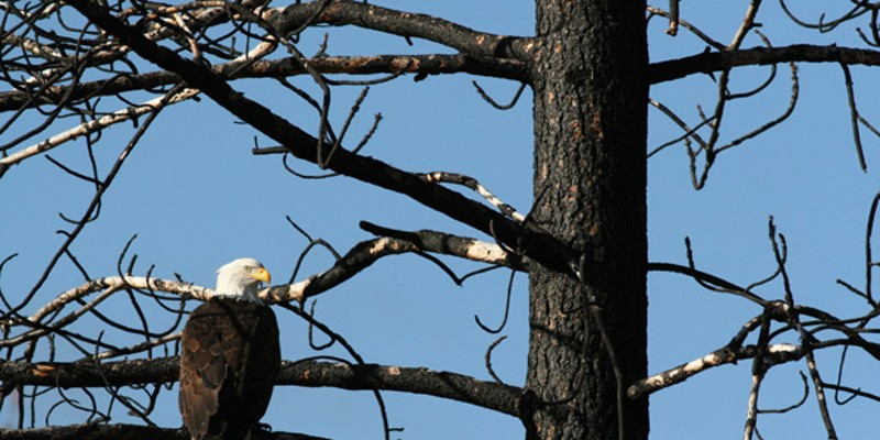 A bald eagle scouts out its next meal.